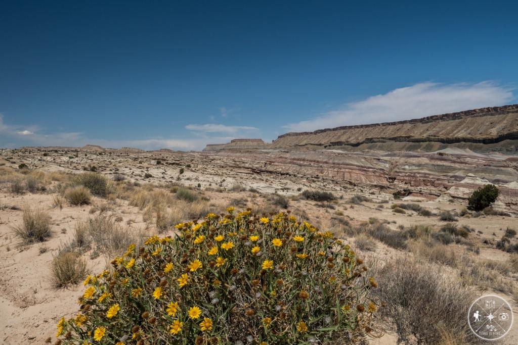 Blümchen in der Wüste - Blick auf North Caineville Mesa
