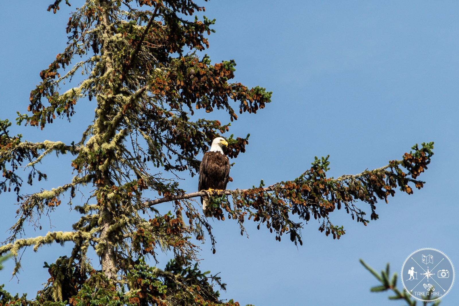 Eins der Wahrzeichen Kanadas - der Weißkopfseeadler
